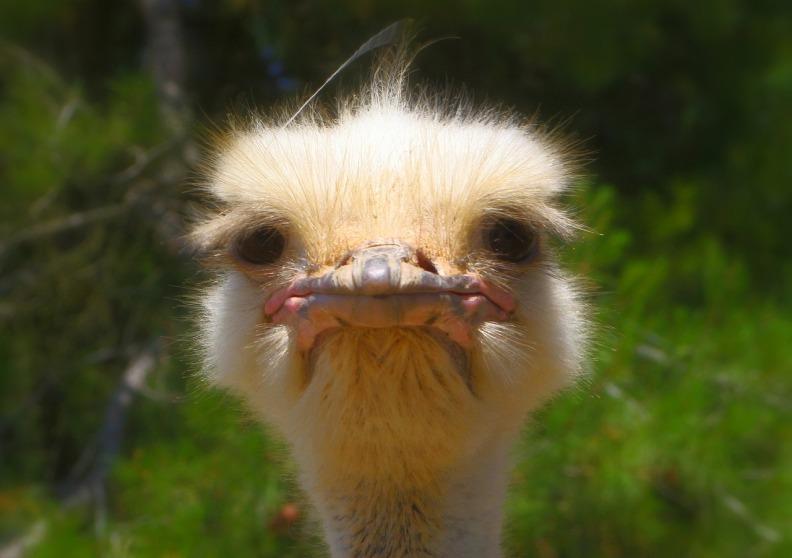 ostrich-992753_1280